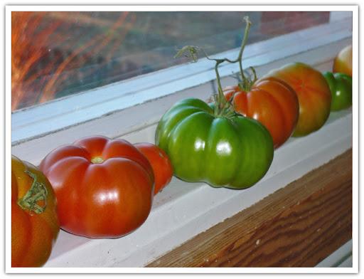 Tomater i väntan på att mogna