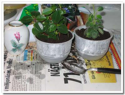 Planterade blomskott
