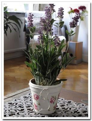 Lavendel med fixad kruka