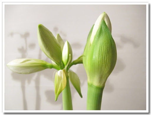 Amaryllis i blom