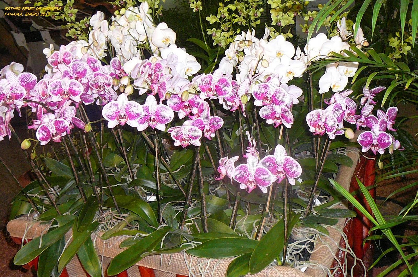 mis plantas en panam plantas en flor