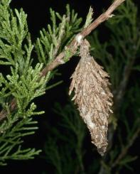 bag worm sack hanging from arborvitae tree