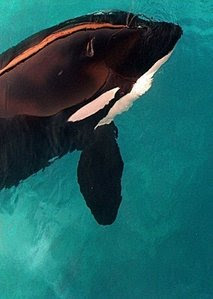 SeaWorld's Killer Whale shown here.