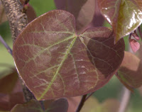 Forest Pansy redbud leaf - purple