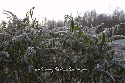 picture, butterfly bush, frost
