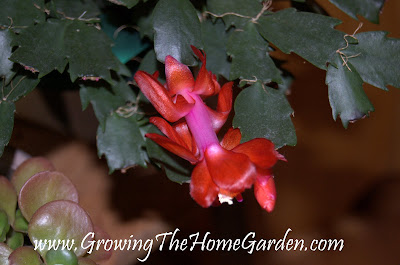 christmas cactus, flower, indoor plant, picture