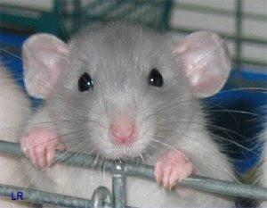 http://1.bp.blogspot.com/_P-CrJ0tGCNY/SeoMl5wdQZI/AAAAAAAAA1o/vvVG5XhZxTY/s320/intelligent_rat_300.jpg