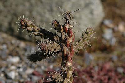 Cylindropuntia viridiflora (Pojoaque, New Mexico)