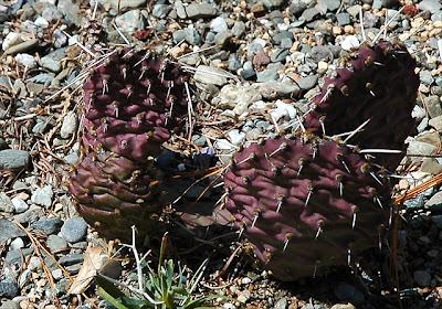 Opuntia polyacantha 'Candy Cane'