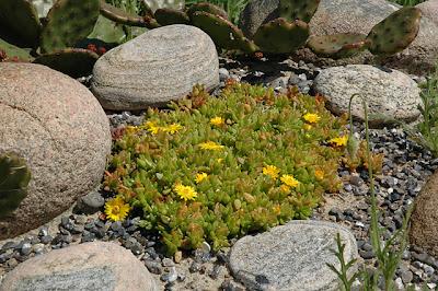 Delosperma nubigenum (Sani Pass, Lesotho)