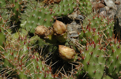 Opuntia 'Smithwick' flower buds ready to flower but withered before they got the chance