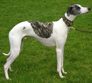 As dog breeds go whippets are