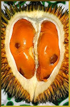 Red-fleshed Durian