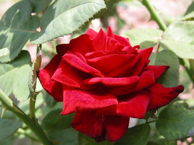 Uma Rosa Para Outra Rosa Com Muito Amor