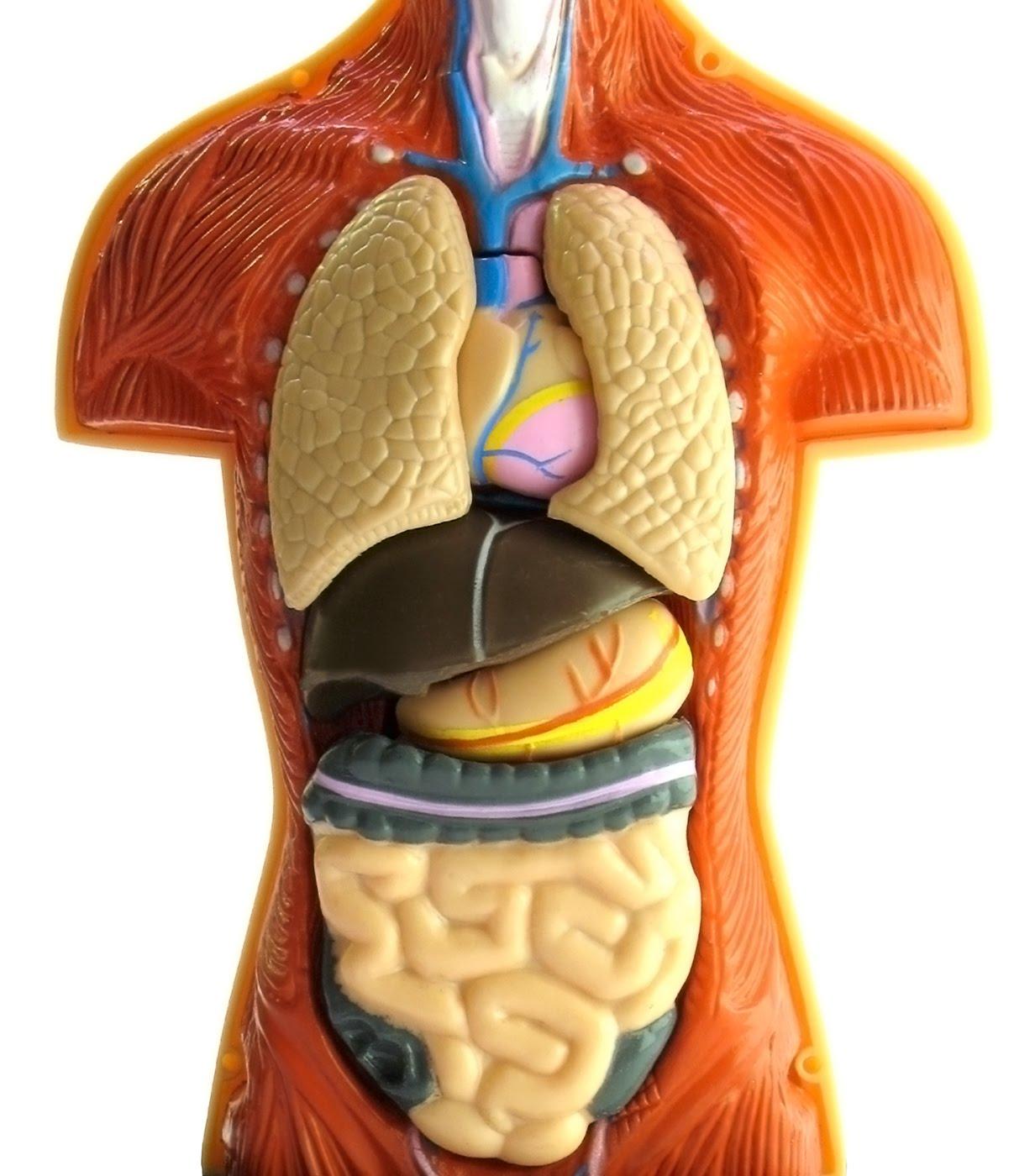 Фото пивного человека внутренние органы 4