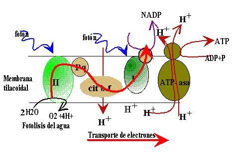 proteina anabolica que es