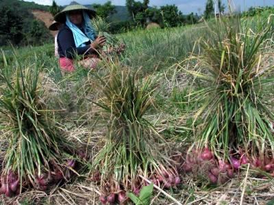 ... bawang putih bawang merah onion atau brambang allium ascalonicum l