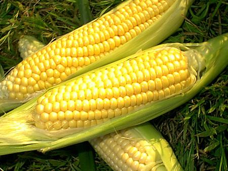 jagung, kandungan gizi jagung manis