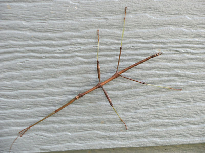 walking stick insect Peoria IL