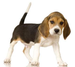 http://1.bp.blogspot.com/_P8cQzj5vwts/S_VmdSeEt-I/AAAAAAAAATk/dQT_pftfIqc/s400/anak+anjing+lucu+Beagle.jpg