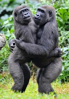 funny gorilla<br />
