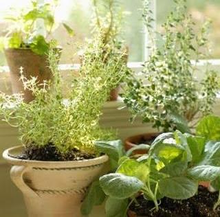 Buenos d as el cultivo de plantas arom ticas - Cultivo de hierbas aromaticas en casa ...