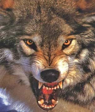 big+snarling+wolf.jpg