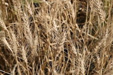 Photo Album: Amber waves of grain