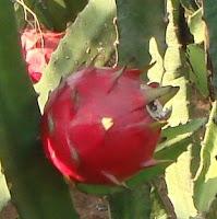 perawatan budidaya buah naga