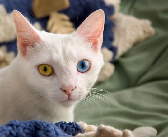 Dos Olhos a Cor Dos Olhos de um Gato