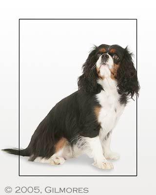 sorte lidt hvide og lidt brune hunde