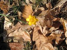 Erster Blüher im LandArt Garten/ First flowering in the Land Art Garden