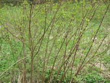 Purpur Weide