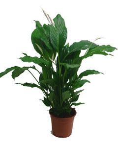 zen et bio des plantes qui purifient l 39 air de l 39 int rieur. Black Bedroom Furniture Sets. Home Design Ideas