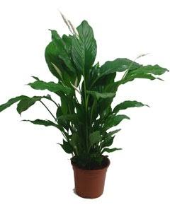 Zen et bio des plantes qui purifient l 39 air de l 39 int rieur - Plante qui purifie l air ...