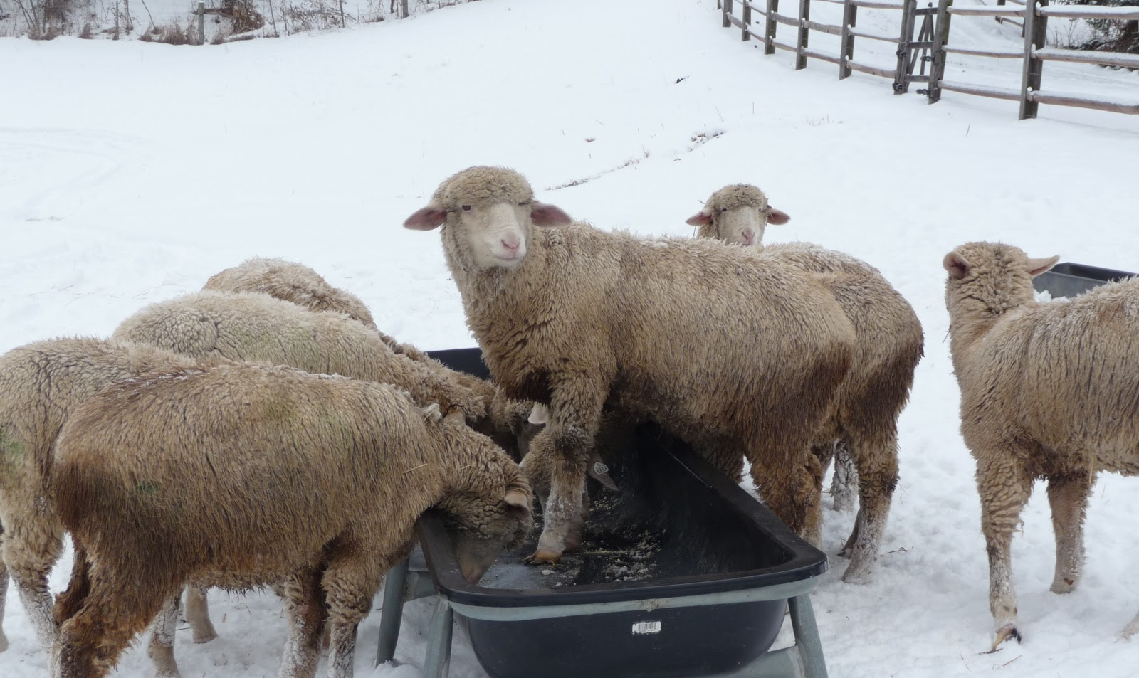 american rambouillet sheep