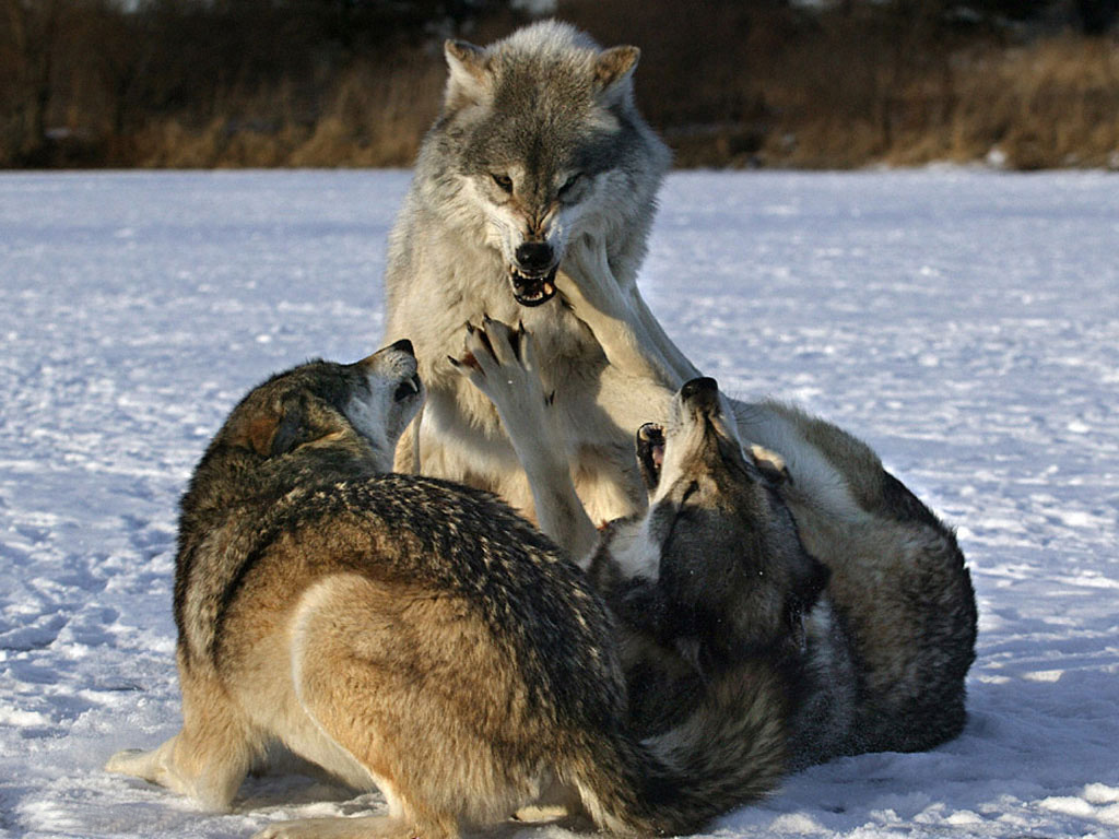 HD Wallpapers: Fighting Wolves