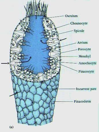 Sponges General Anatomy