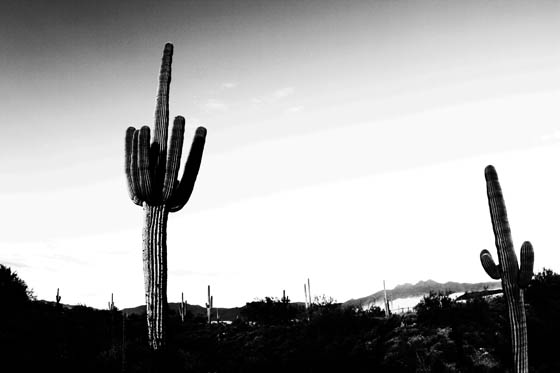 Giant saguaro on the drive between Payson and Phoenix, Arizona.