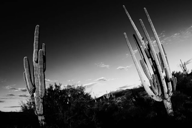 Two giant saguaro just off the highway in Arizona.