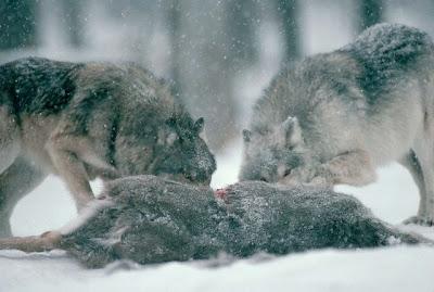 Bien préparer une marche : Inventaire et conseils Wolf-eating2
