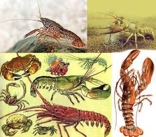 Ракообразные лат crustacea подтип