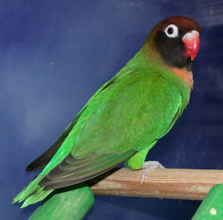 pets at peaces peach faced lovebirds