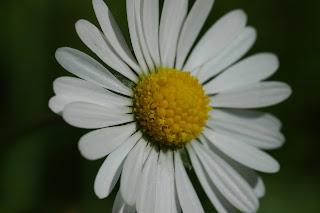 flower, daisies, England, sunshine