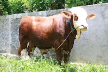 Sapi Simmental