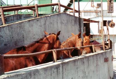 Mustangs enfilados hacia el matadero