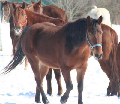 caballos castaños nieve