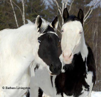 Caballos con Cara Blanca Inversa y Cara Blanca