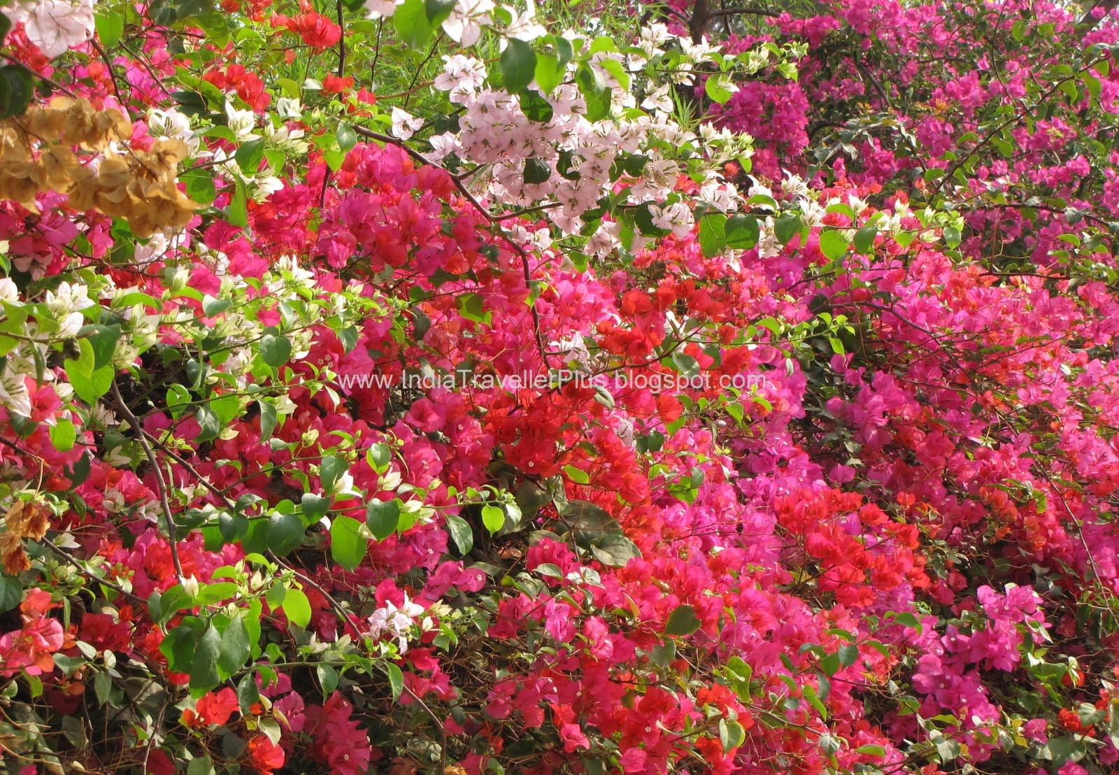 India traveller spring in bangalore bougainvillea mightylinksfo
