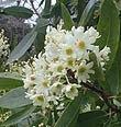 Flor del árbol canelo